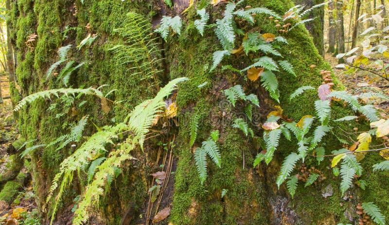 Árvore de carvalho com o fern do Polypody comum fotografia de stock