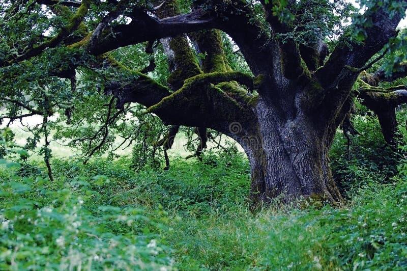 Árvore de carvalho de Califórnia foto de stock