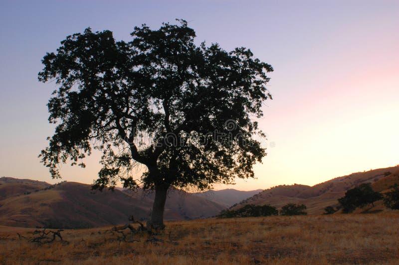 Árvore de carvalho do alvorecer fotografia de stock