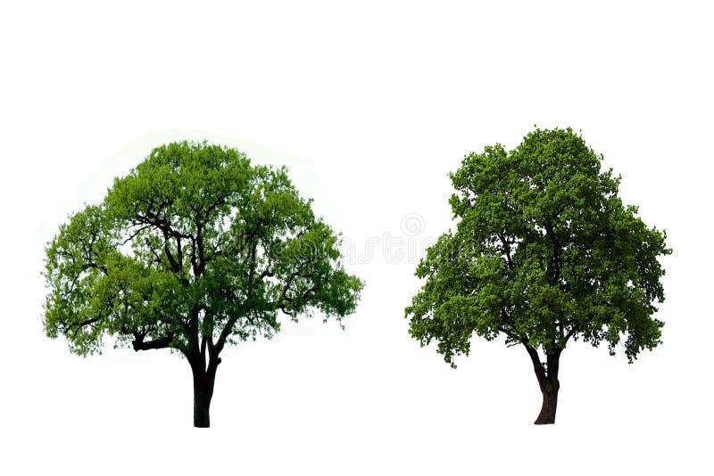Árvore de carvalho dois verde fotos de stock