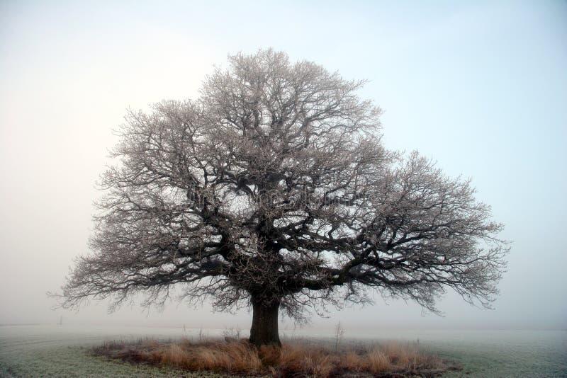 Árvore de carvalho grande velha fotografia de stock