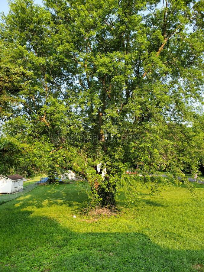 Árvore de Carvalho de Lush foto de stock
