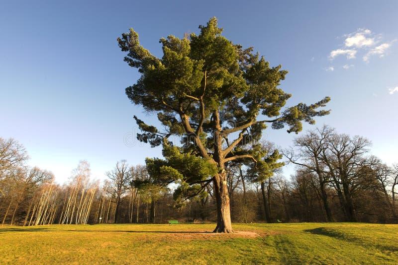 Árvore de carvalho majestosa imagem de stock