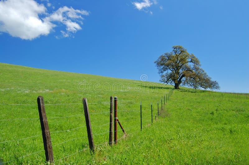 Árvore de carvalho na mola fotografia de stock
