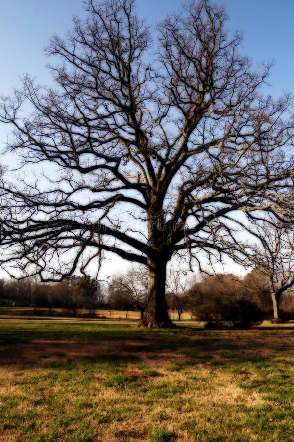 Árvore de carvalho poderosa fotografia de stock
