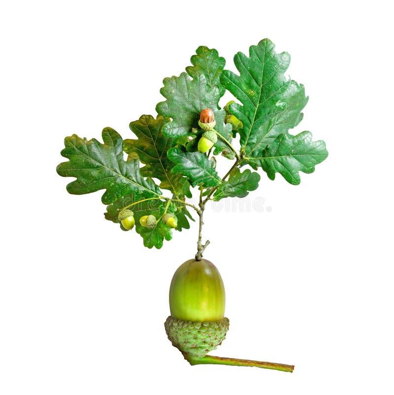 Árvore de carvalho que cresce da bolota fotografia de stock royalty free