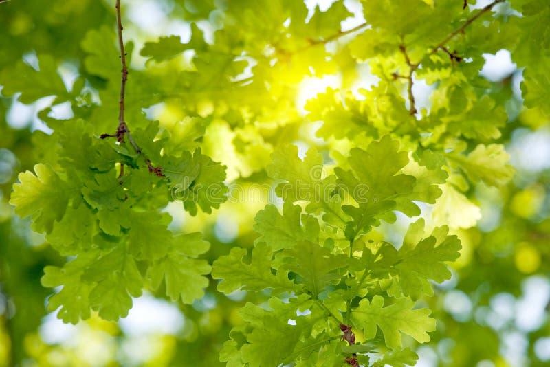A árvore de carvalho sae da luz solar fotografia de stock