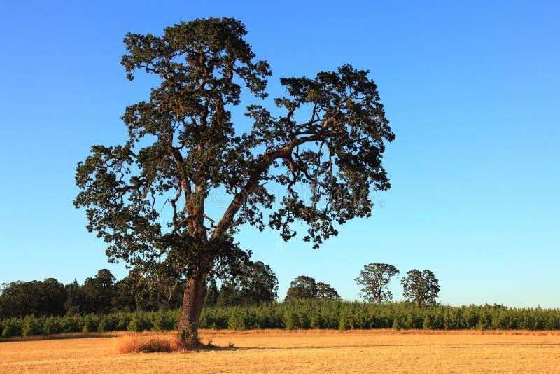 Árvore de carvalho velha foto de stock