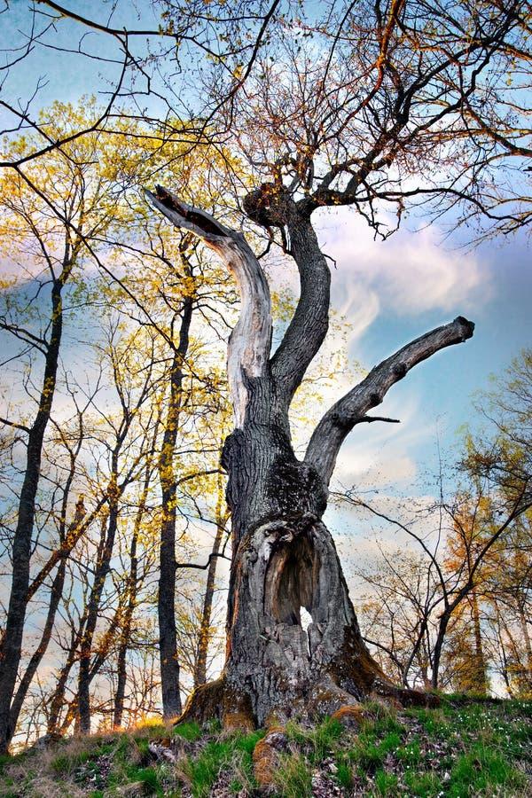 Árvore de carvalho velha imagens de stock