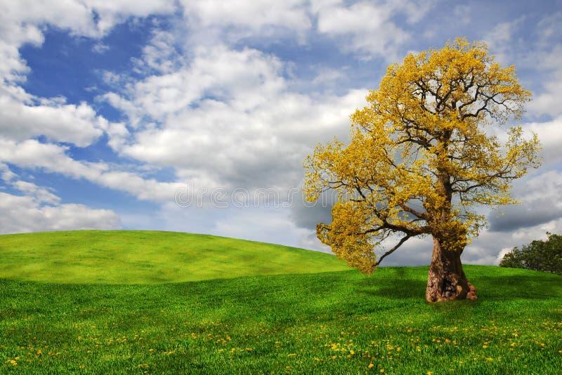 Árvore de carvalho velha no campo foto de stock royalty free