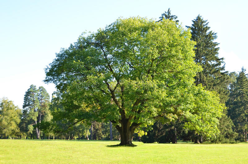 Árvore de carvalho verde fotos de stock