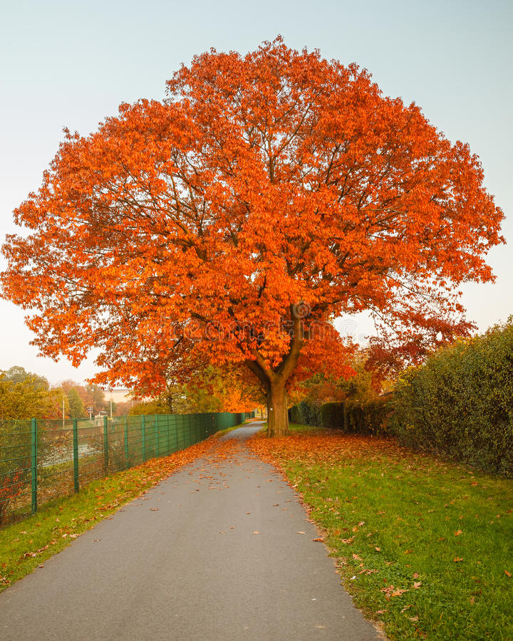 Árvore de carvalho vermelha do outono imagem de stock