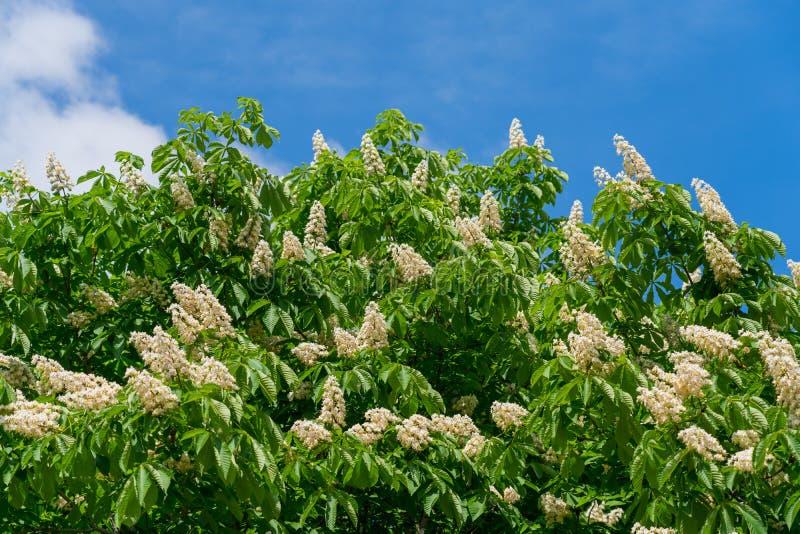 Árvore de castanha de florescência do cavalo do tempo de mola imagem de stock royalty free