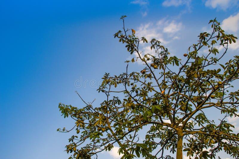 Árvore de castanha de Malabar (aquatica de Pachira) com fundo do céu azul Aquatica de Pachira igualmente conhecido como a castanh fotos de stock royalty free