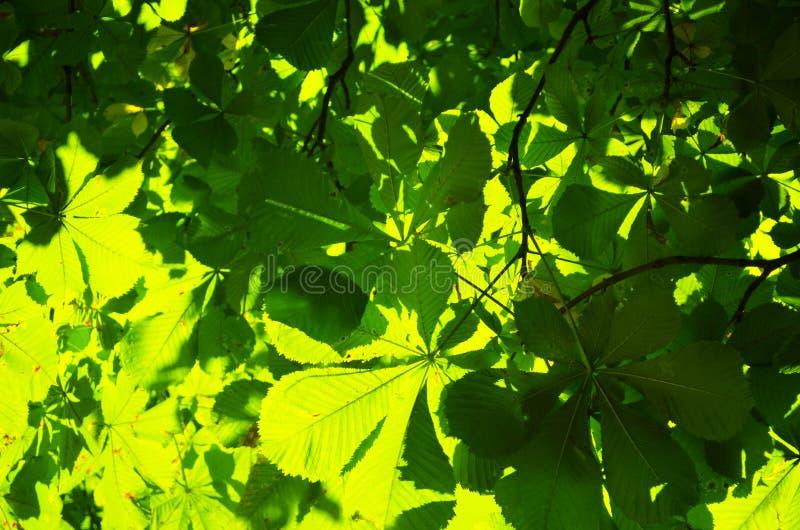 A árvore de castanha verde sae do fundo fotos de stock