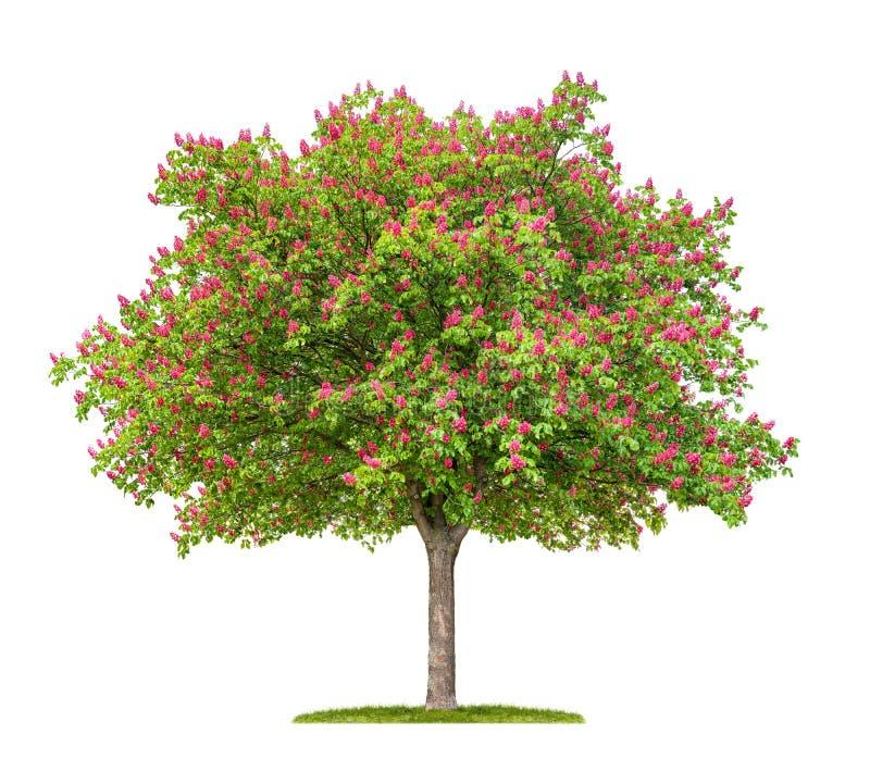 Árvore de castanha vermelha de florescência do cavalo imagens de stock royalty free