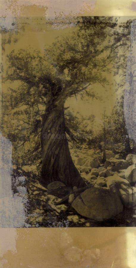 Árvore de cedro antiga ilustração do vetor
