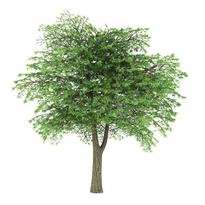 Árvore de cedro de Líbano isolada no branco ilustração royalty free