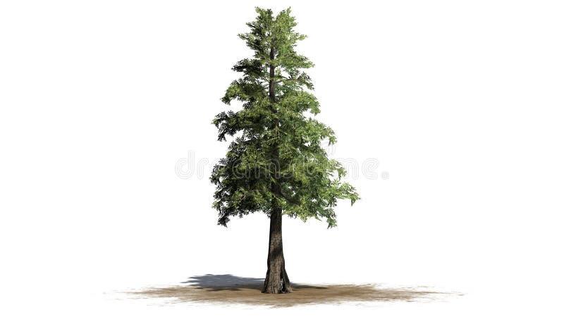 Árvore de cedro do vermelho ocidental ilustração royalty free