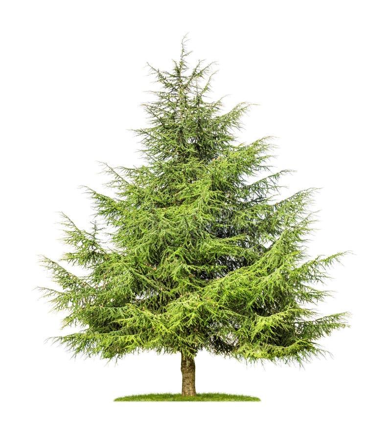 Árvore de cedro isolada fotos de stock
