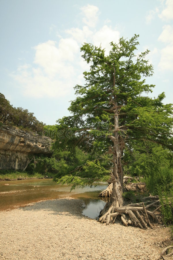 Árvore de cedro no rio de Guadalupe imagem de stock