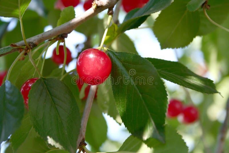 Árvore de cereja ácida foto de stock