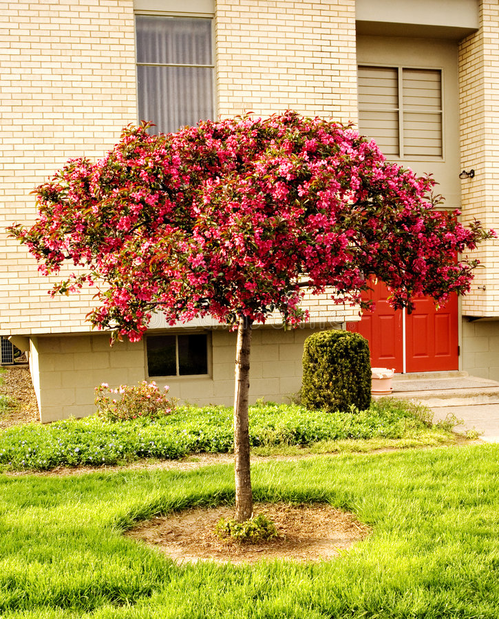 Árvore de cereja fotos de stock royalty free