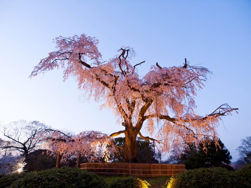 Árvore de cereja antiga em Japão imagem de stock