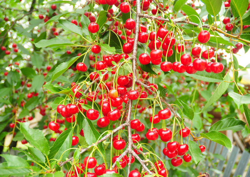 Árvore de cereja com as cerejas vermelhas ácidas maduras Uma árvore de cereja imagens de stock royalty free