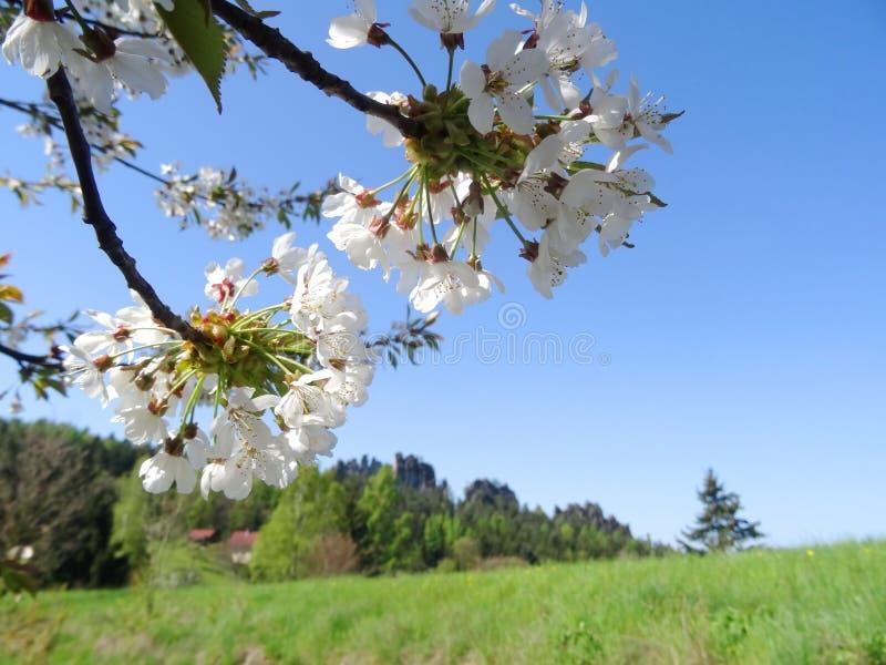 Árvore de cereja da flor no paraíso boêmio foto de stock royalty free