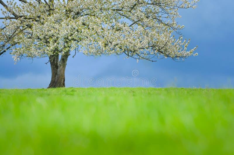 Árvore de cereja da mola na flor no prado verde sob o céu azul Papel de parede em cores macias, neutras com espaço para sua monta fotografia de stock royalty free