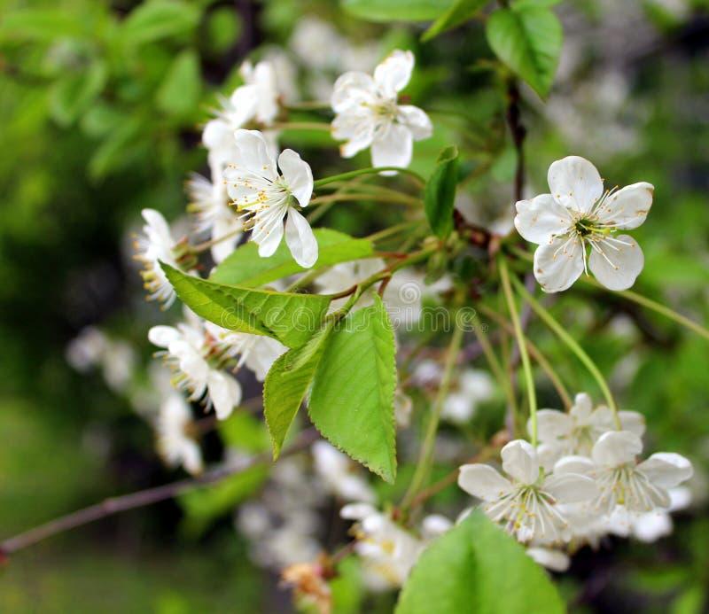 Árvore de cereja das flores brancas no jardim contra as folhas verdes fotos de stock