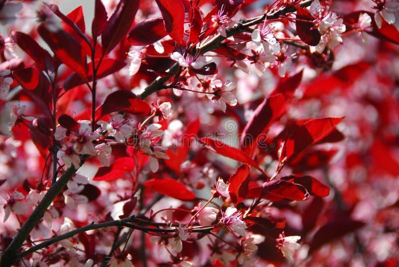 Árvore de cereja de Bloomig imagem de stock royalty free
