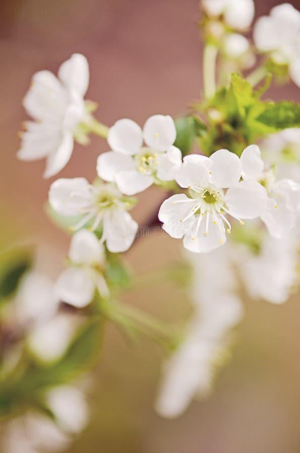 Árvore de cereja de florescência imagens de stock royalty free