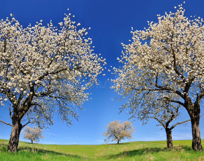 Árvore de cereja de florescência imagens de stock