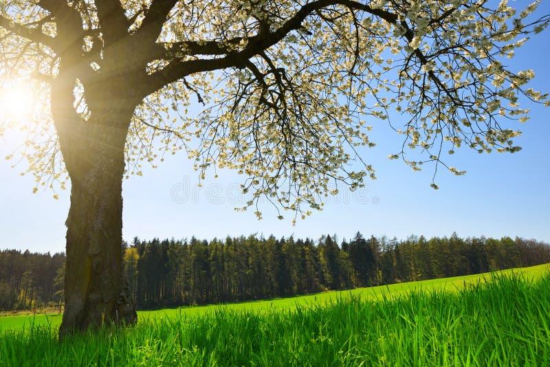 Árvore de cereja de florescência foto de stock