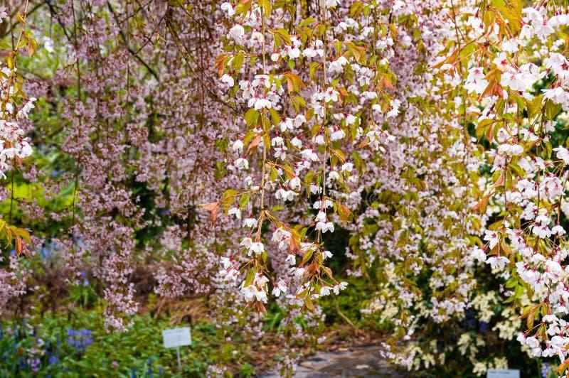 Árvore de cereja de florescência Fundo de florescência da natureza de Sakura foto de stock royalty free