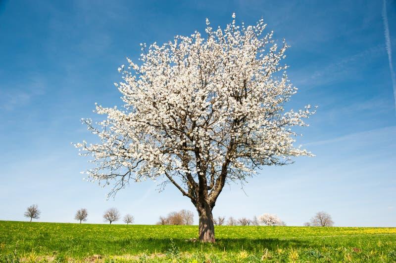 Árvore de cereja de florescência na mola fotografia de stock