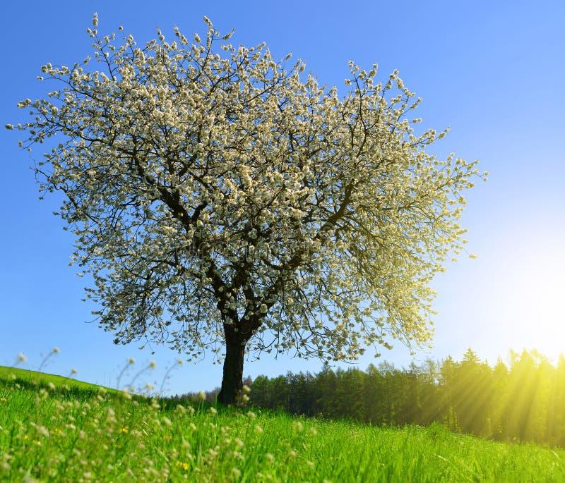 Árvore de cereja de florescência no prado foto de stock