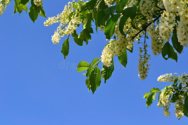 Árvore de cereja do pássaro imagem de stock