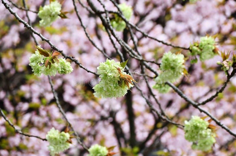 árvore de cereja Dobro-florescida no templo de Ninnaji, Kyoto Japão imagens de stock