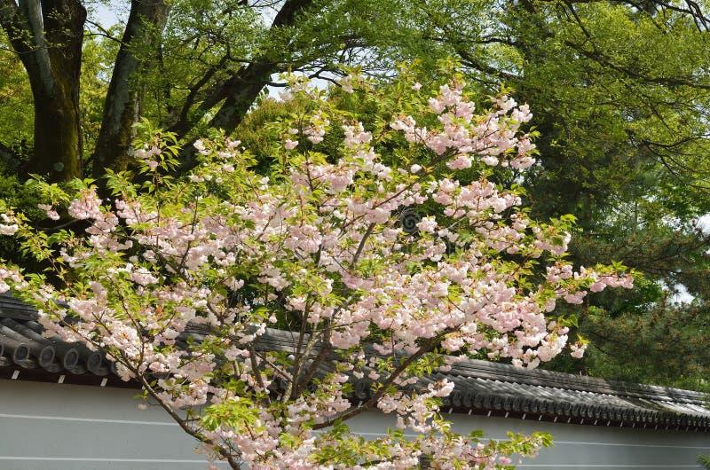 árvore de cereja Dobro-florescida no templo de Ninnaji, Kyoto Japão foto de stock
