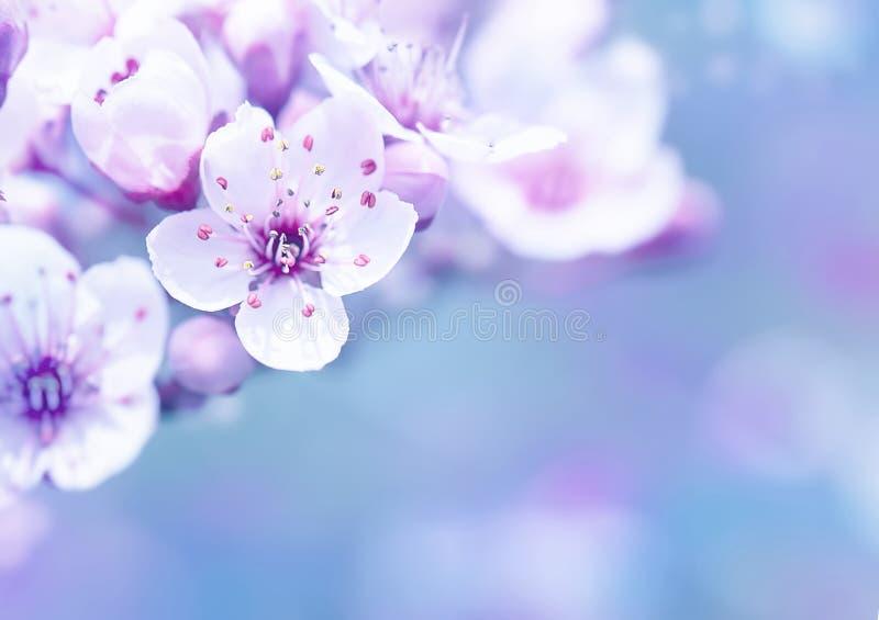 Árvore de cereja de florescência bonita fotografia de stock royalty free