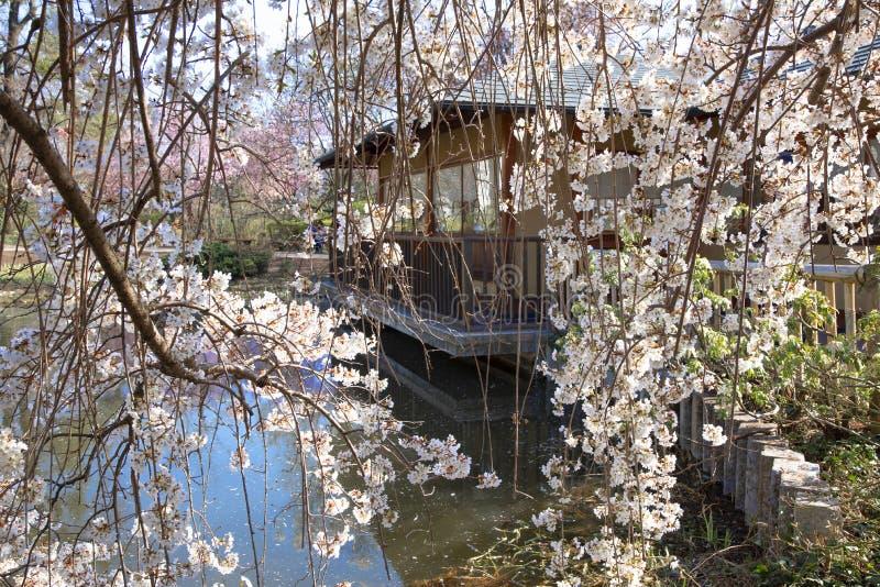 Árvore de cereja de florescência, casa pequena no fundo imagens de stock royalty free