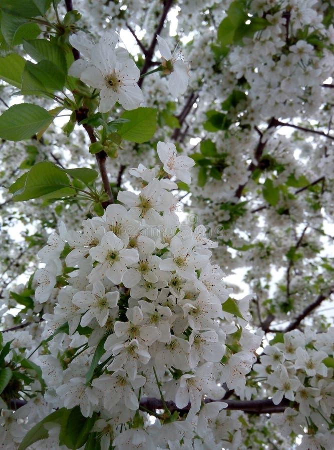 Árvore de cereja de florescência na mola, flores brancas bonitas fotografia de stock