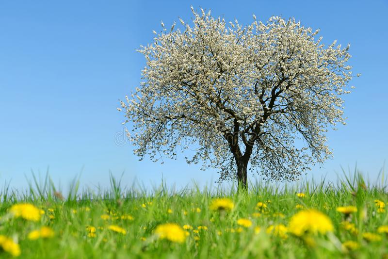 Árvore de cereja de florescência no prado com dentes-de-leão fotografia de stock royalty free