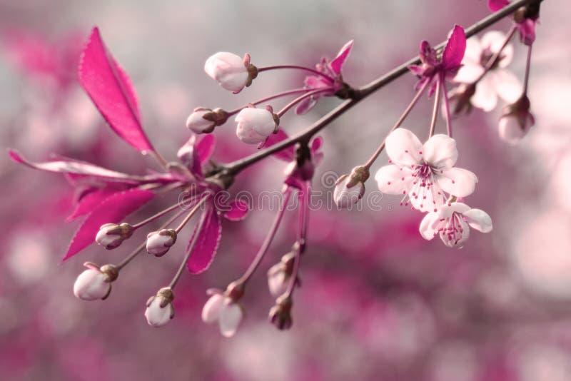 Árvore de cereja de florescência tonificada vermelha de Instagram Tiro falsificado da cor fotos de stock royalty free