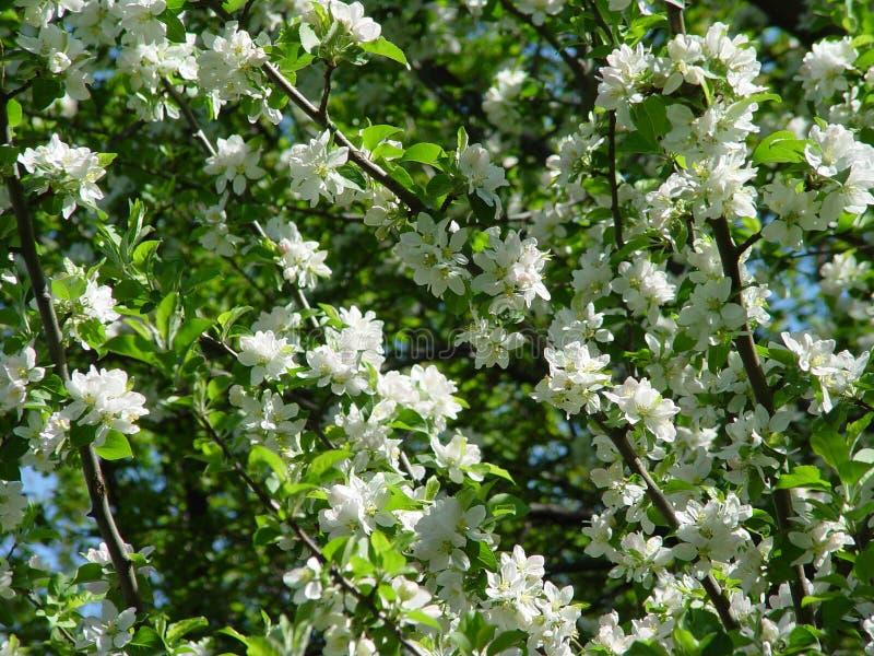 Árvore de cereja florescida fotografia de stock royalty free