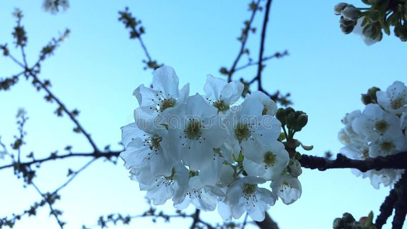 Árvore de cereja florescida em abril imagens de stock royalty free