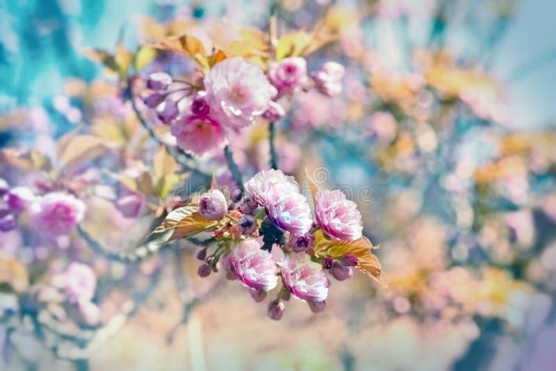 Árvore de cereja japonesa de florescência e céu azul fotografia de stock royalty free